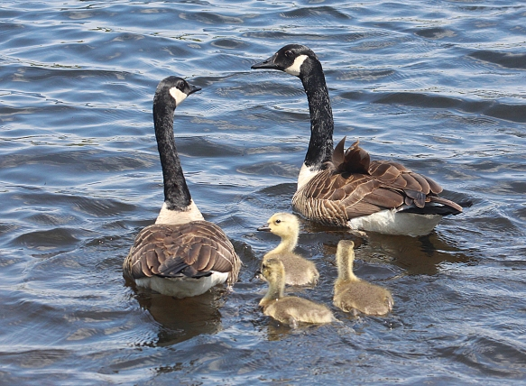 Photo by Chris Bosak Family of Canada Geese in Pittsburg, N.H., summer 2017.