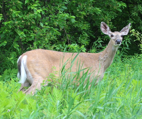 Photo by Chris Bosak White-tailed deer in Pittsburg, N.H., summer 2017.