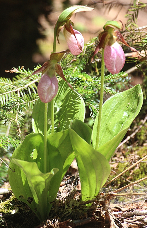Photo by Chris Bosak Lady's slipper flower in Pittsburg, N.H., summer 2017.