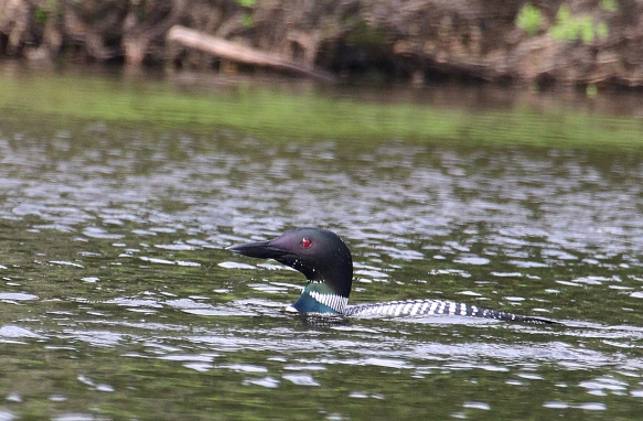 Photo by Chris Bosak A common loon in Pittsburg, N.H., summer 2017.