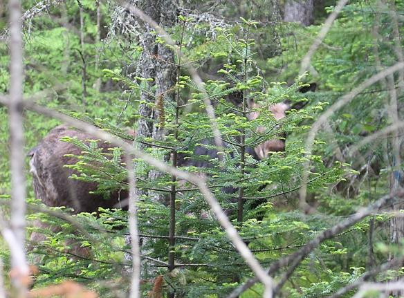 Moose in Pittsburg, N.H.