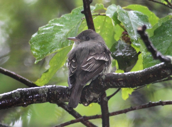 Photo by Chris Bosak An eastern wood-pewee perches on a branch in Danbury, Conn., summer 2017.