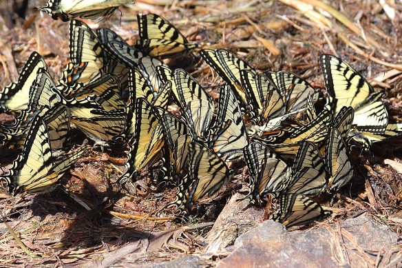 Photo by Chris Bosak Tiger Swallowtails gather at the edge of the pond at Deer Mountain Campground in Pittsburg, N.H., in summer 2017.