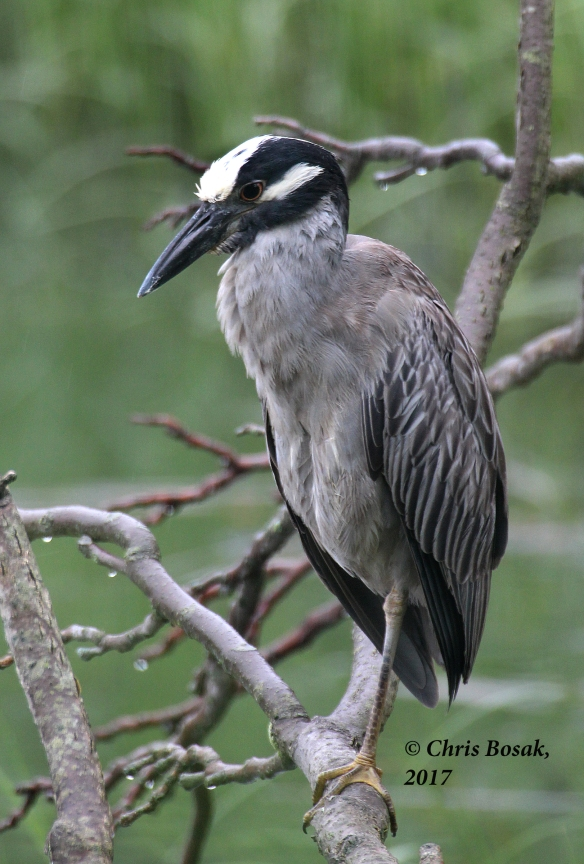 Photo by Chris Bosak A Yellow-crowned Night Heron in Norwalk, Conn., summer 2017.