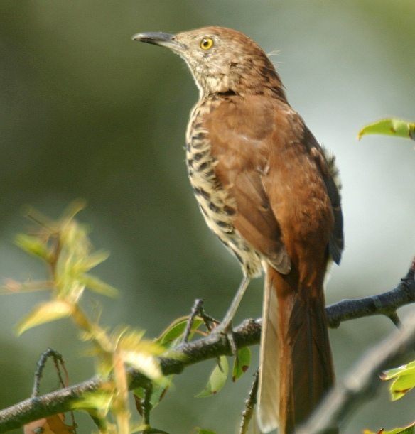 Photo by Chris Bosak A brown thrasher checks out its surroundings in New England.