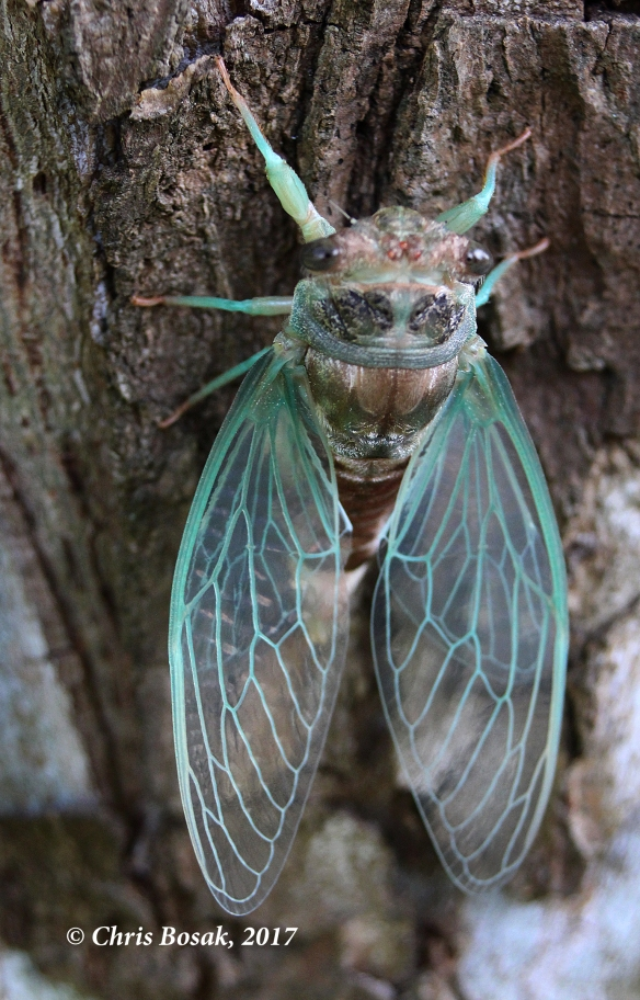Photo by Chris Bosak A cicada emerges from its nymph exoskeleton on a tree in Danbury, Conn., summer 2017.