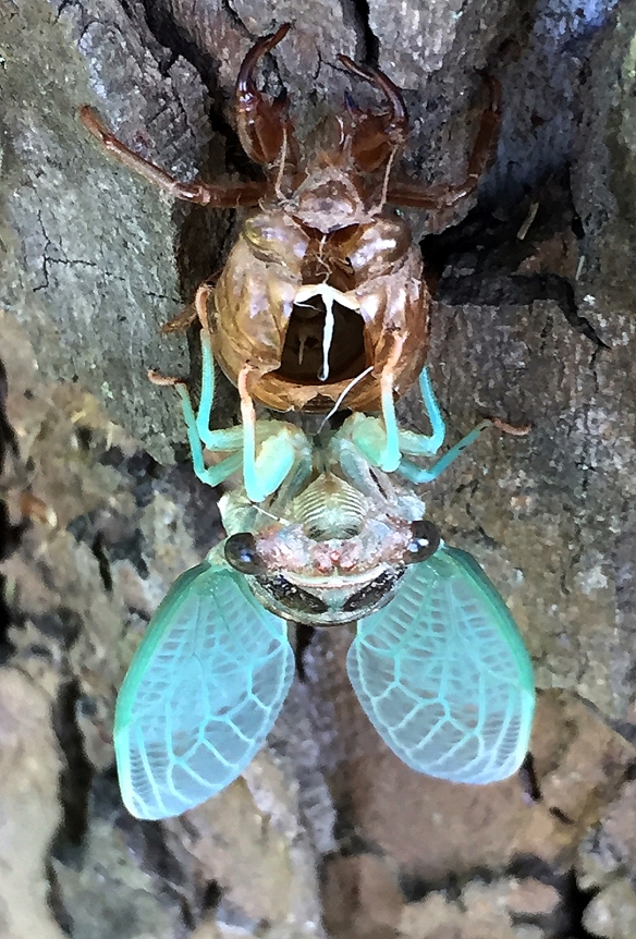 Photo by Will Bosak A cicada emerges from its nymph exoskeleton on a tree in Danbury, Conn., summer 2017.