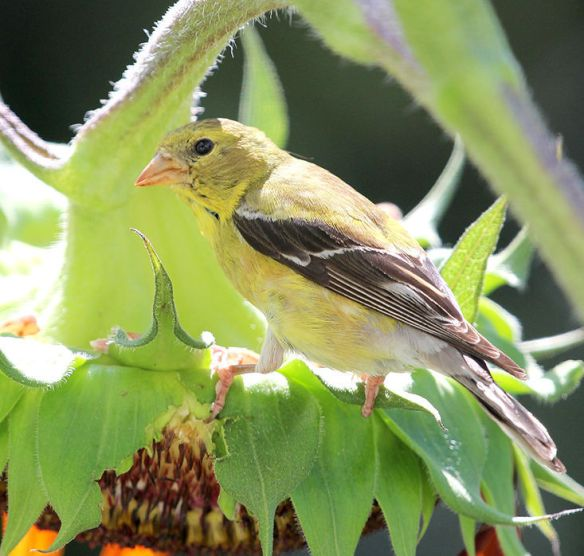 Photo by Chris Bosak An American Goldfinch rests on a sunflower in New England.