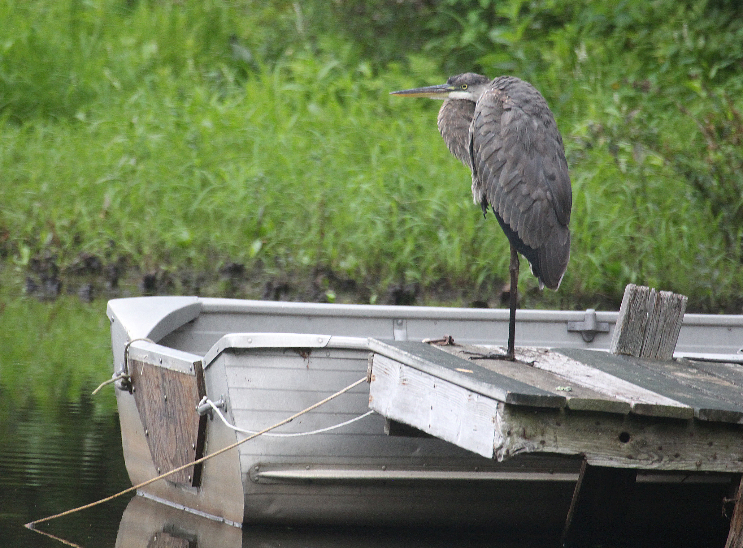 Photo by Chris Bosak A great blue heron stands on a dock at Lake Waubeeka in Danbury, Conn., during the summer of 2017.