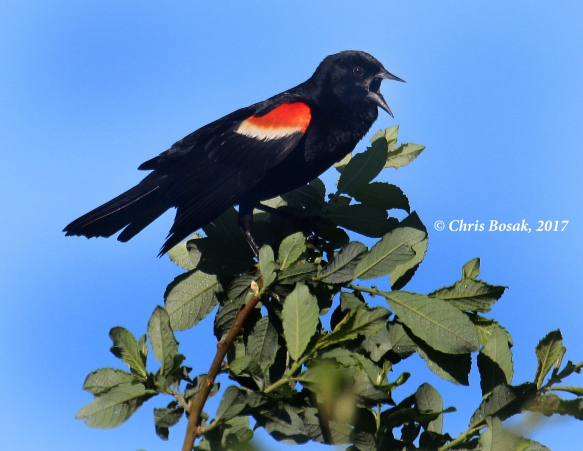 Photo by Chris Bosak A red-winged blackbird sings from the top of a tree at Happy Landings in Brookfield, Conn., spring 2017.