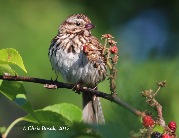 Photo by Chris Bosak A song sparrow eats berries at Dolce Center in Norwalk, Conn.