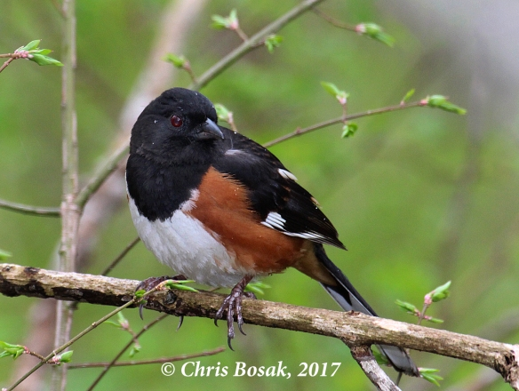 Photo by Chris Bosak An eastern towhee perches in thick brush in Ridgefield, Conn., spring 2017.