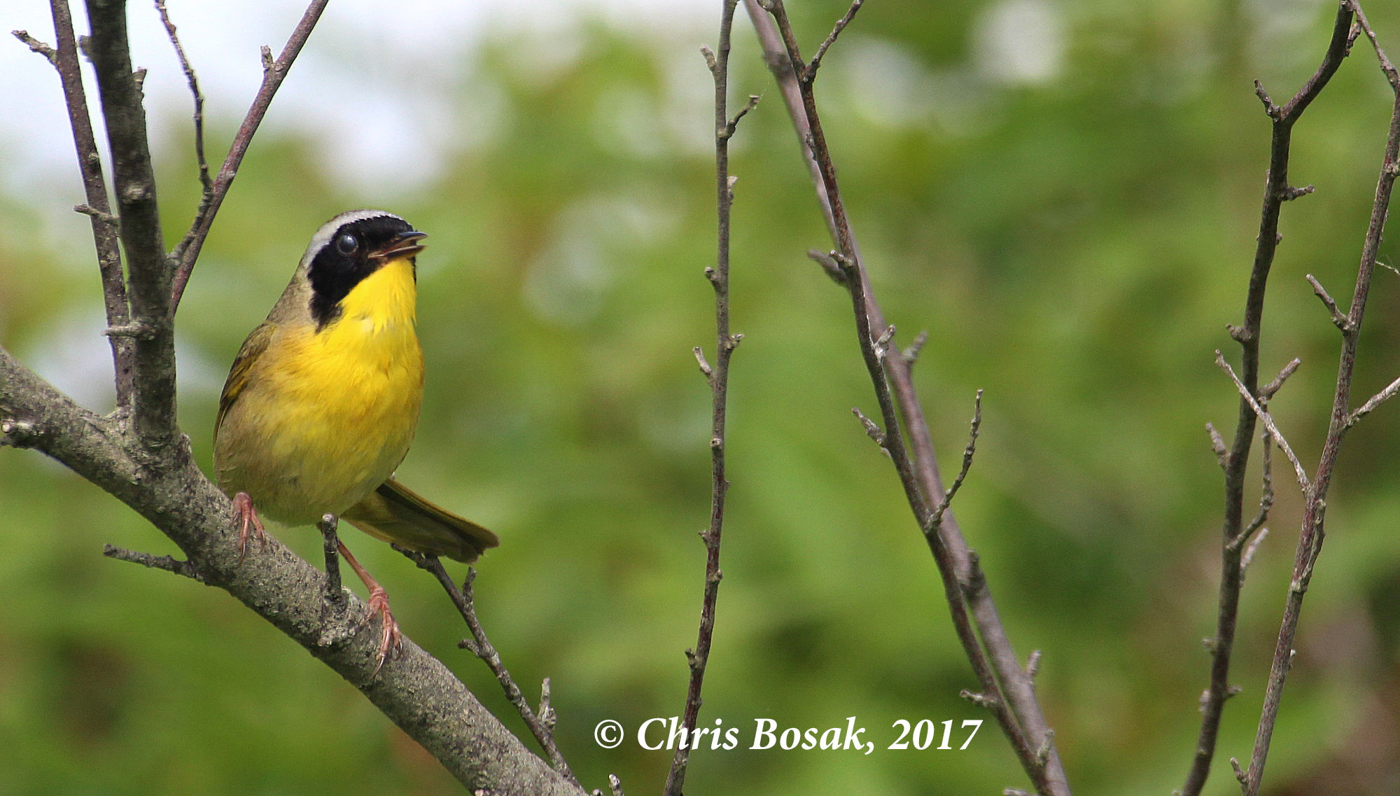 Photo by Chris Bosak A common yellowthroat sings from a perch in Brookfield, Conn., during spring 2017.