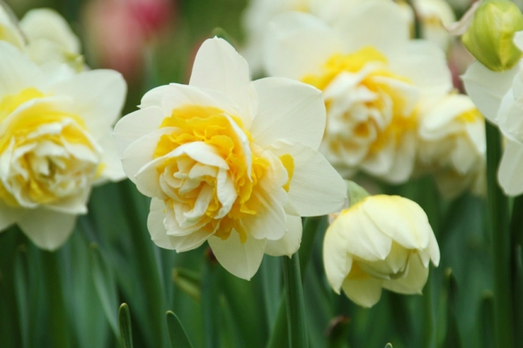 Photo by Longfield-Gardens.com Unique daffodil varieties like Lingerie offer double flowering.