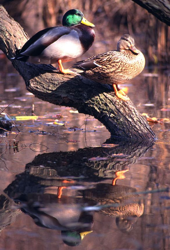 Mallards sit on a branch overhanging a pond in New England.