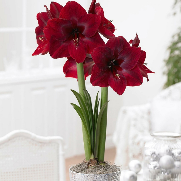 Credit: Longfield-Gardens.com 'Red Pearl,' a newer variety of amaryllis, has huge red velvety flowers that are deep crimson, overlaid with burgundy and maroon.