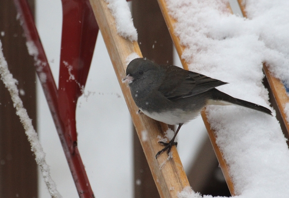 Photo by Chris Bosak  A dark-eyed junco perches on a sled in search for seeds during a snowfall in December 2017.