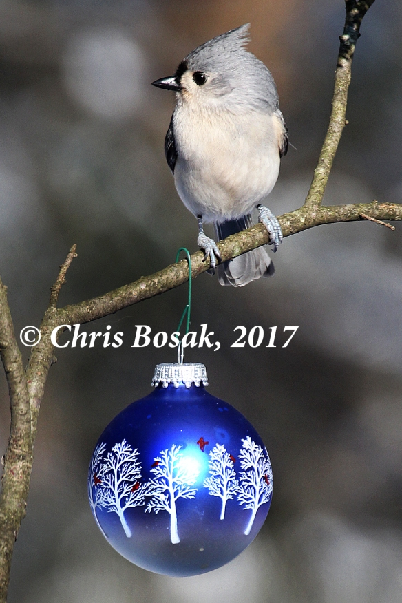 Photo by Chris Bosak A tufted titmouse perches on a branch after a Dec. 2017 snow fall.