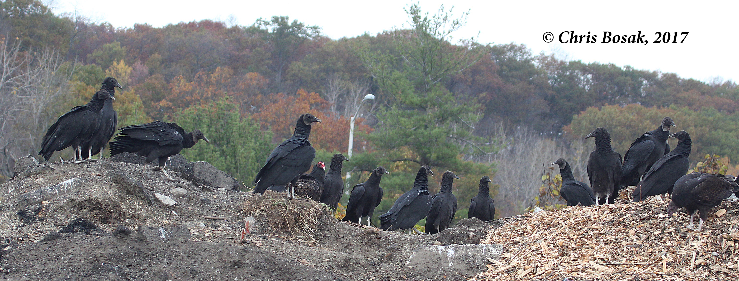 Photo by Chris Bosak Black and turkey vulture sit on a hill in Danbury, Conn., fall 2017.
