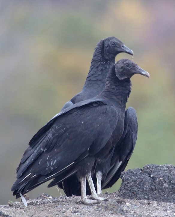 Photo by Chris Bosak Black vultures sit on a hill in Danbury, Conn., fall 2017.