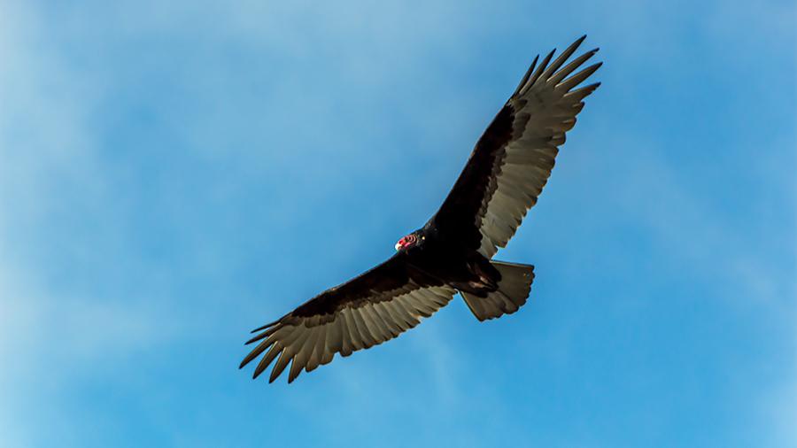 Jason Farrow of Norwalk, Conn., got this shot of a turkey vulture while visiting the Golden Gate Bridge.