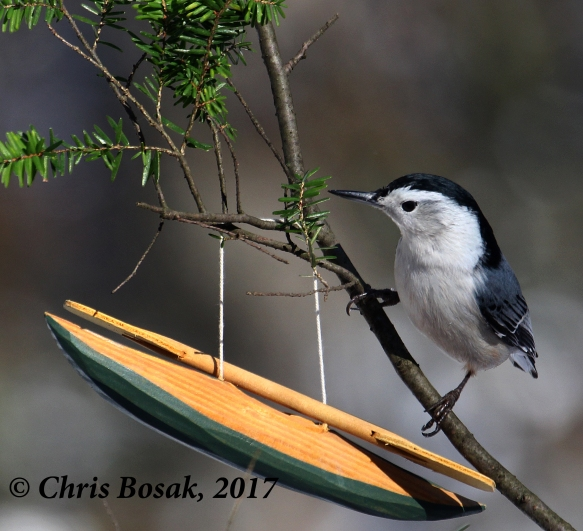 Photo by Chris Bosak A white-breasted nuthatch visits a backyard in New England, Dec. 2017.