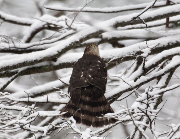 Photo by Chris Bosak  A Cooper's hawk looks up after landing on a snowy branch during a moderate snowfall in Jan. 2018.