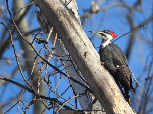 Photo by Chris Bosak A pileated woodpecker searches for food in a dead tree on New Year's Day 2018.