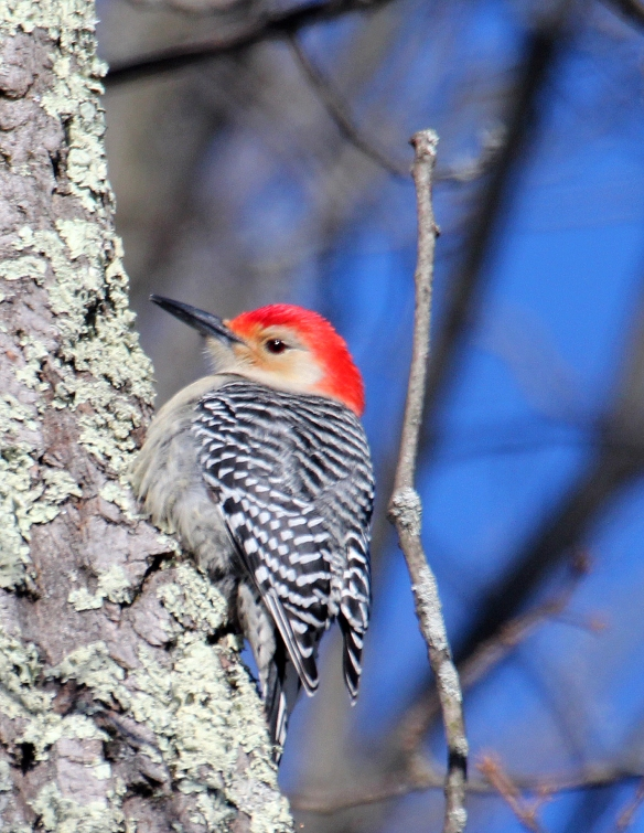 Photo by Chris Bosak A red-bellied woodpecker searches for food in an oal tree during a cold day in Jan. 2018.