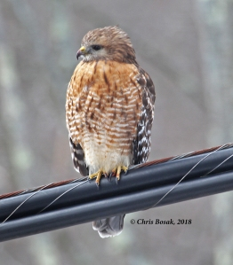 Photo by Chris Bosak A red-shouldered hawk perches on a wire in Brookfield, Connecticut, Jan. 2018.