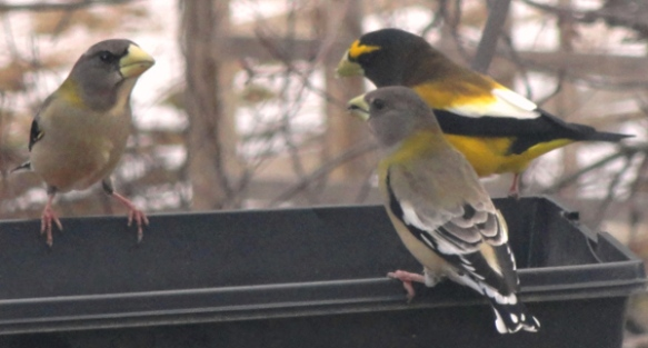 Karla Wallace of North Stratford, N.H., got these great shots of a evening grosbeaks (and a blue jay) during the winter of 2014-15.
