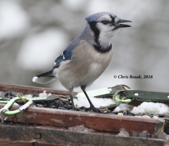 Photo by Chris Bosak A blue jay stands on a platform feeder, eyeing up some suet nuggets, Danbury, Conn., March 2018.