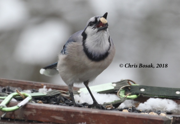 Photo by Chris Bosak A blue jay grabs a suet nugget from a platform feeder, Danbury, Conn., March 2018.