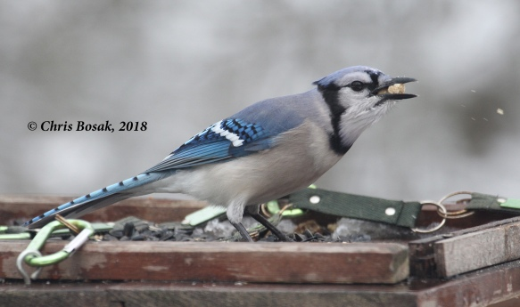Photo by Chris Bosak A blue jay positions a second suet nugget from a platform feeder, Danbury, Conn., March 2018.