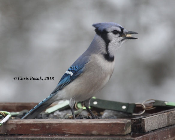 Photo by Chris Bosak A blue jay grabs a second suet nugget from a platform feeder, Danbury, Conn., March 2018.