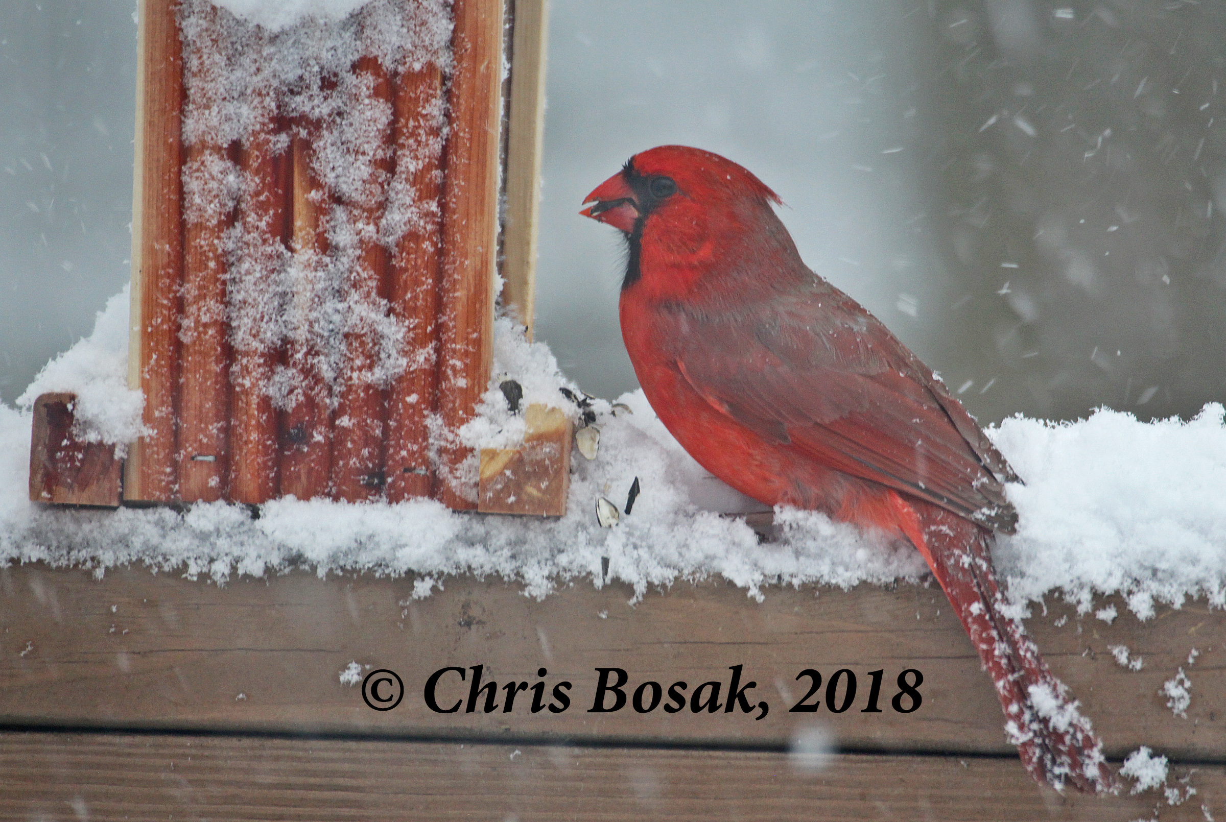 Photo by Chris Bosak A northern cardinal eats seeds from a feeder during a snow storm, March 2018.