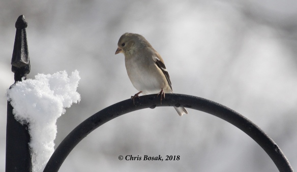 Photo by Chris Bosak A gold finch waits patiently by a feeder, March 2018.