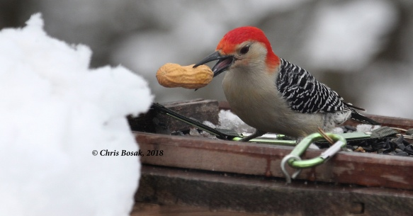 Photo by Chris Bosak A red-bellied woodpecker grabs a peanut from a feeder, March 2018.