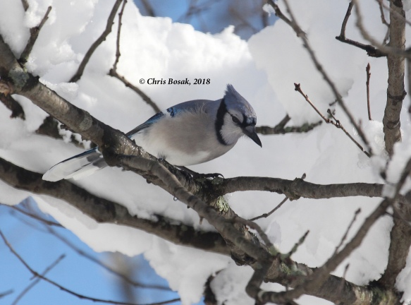 Photo by Chris Bosak A blue jay grabs a seed from a feeder, March 2018.