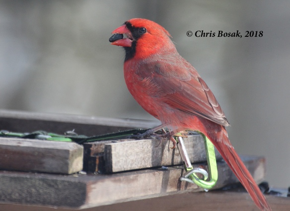 Photo by Chris Bosak A cardinal grabs a seed from a feeder, March 2018.