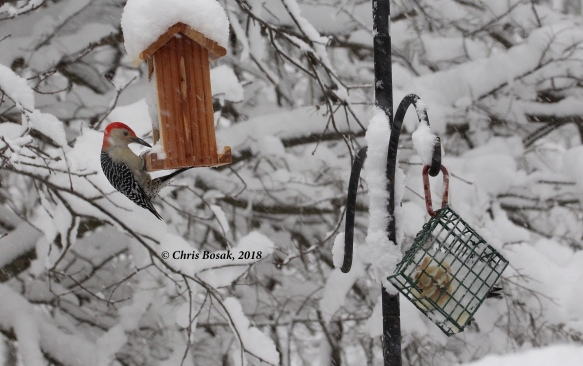 Photo by Chris Bosak A red-bellied woodpecker visits a feeder, March 2018.