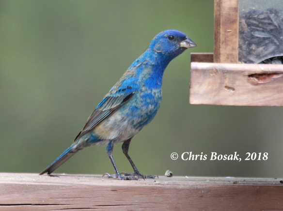 Photo by Chris Bosak An indigo bunting visits a feeder in New England, spring 2018.
