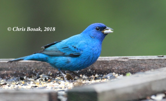 Photo by Chris Bosak  A male indigo bunting eats seeds from a platform feeder in Danbury, Conn., in May 2018.