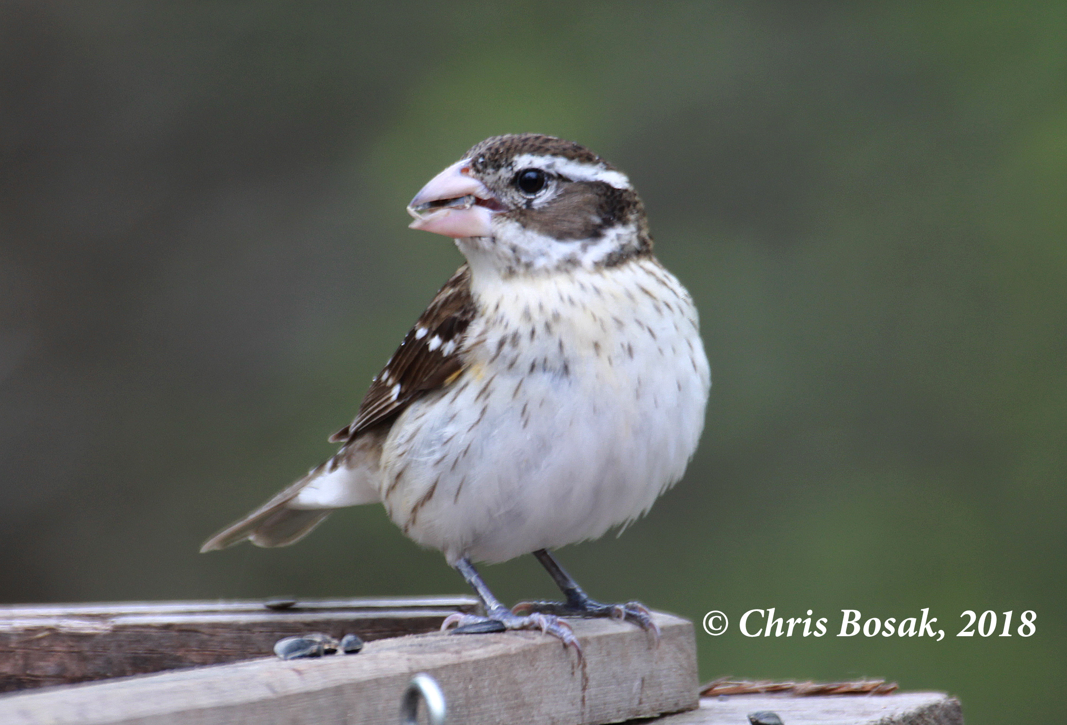 Photo by Chris Bosak  A female rose-breasted grosbeak visits a feeder in Danbury, Conn., during the spring of 2018.