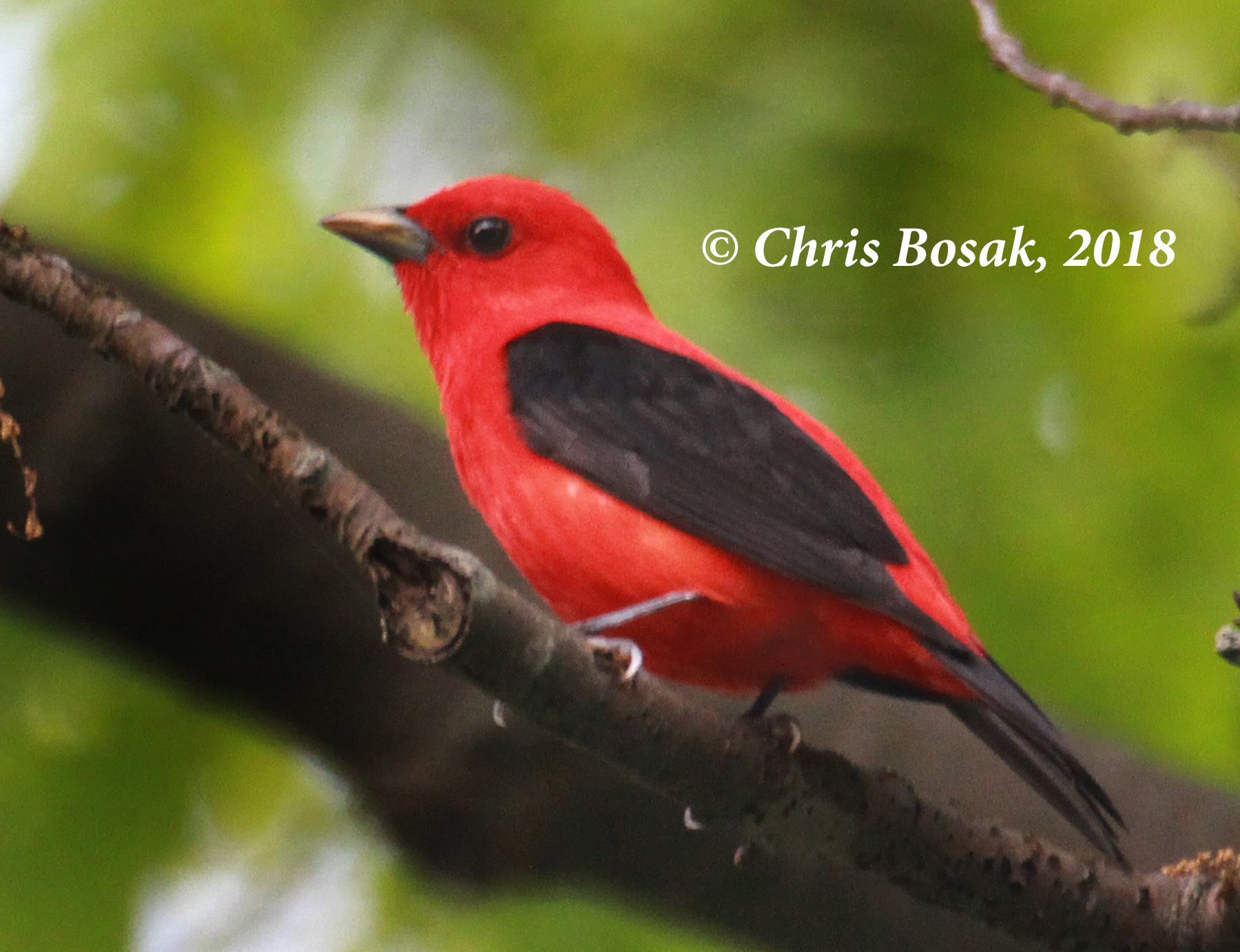 Photo by Chris Bosak A scarlet tanager perches in an oak tree in Danbury, Conn., spring 2018.