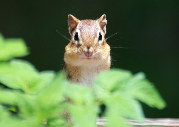 Photo by Chris Bosak  A chipmunk looks up after grabbing sunflower seeds from a feeder in Danbury, Conn., during the summer of 2018.
