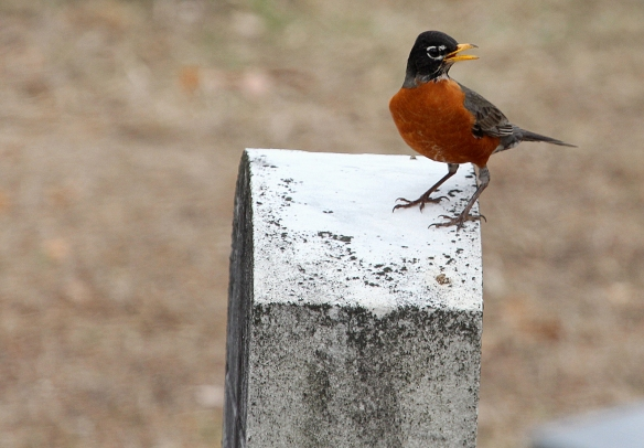 Photo by Chris Bosak An American Robin perches on a gravestone at at a cemetery in Darien, Conn., April 2014.