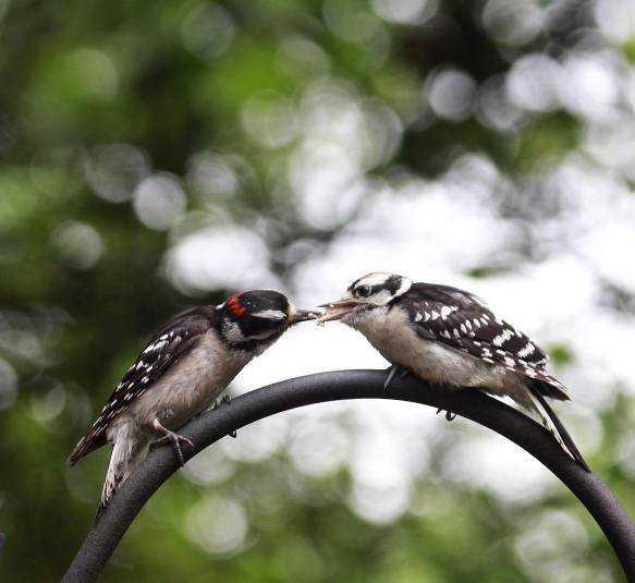 Photo by Chris Bosak An adult male downy woodpecker, left, feeds an immature male downy woodpecker near a birdfeeder in New England, summer 2018.