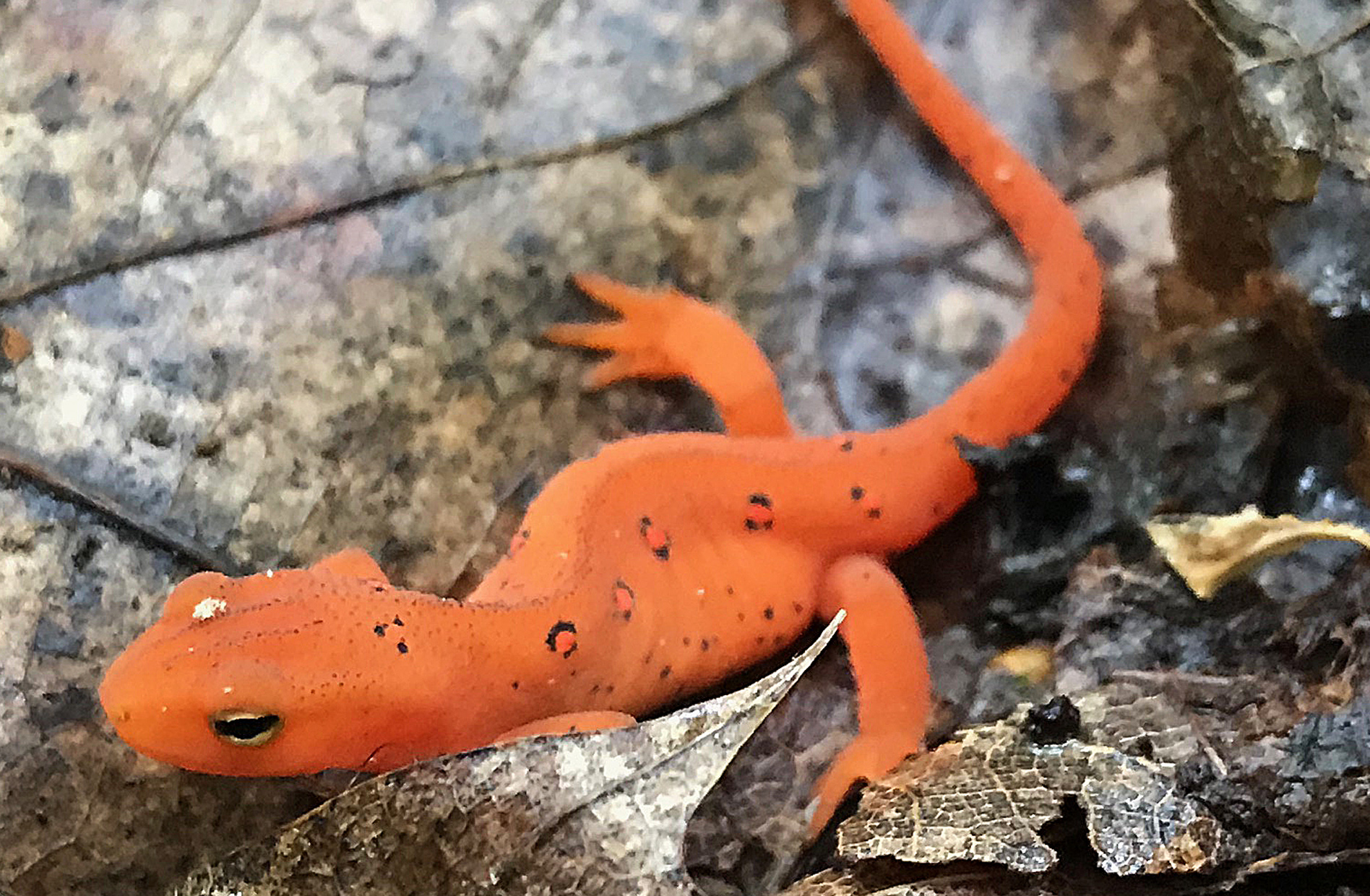 An eft works its way through the woods in Danbury, Conn., during the summer of 2018.