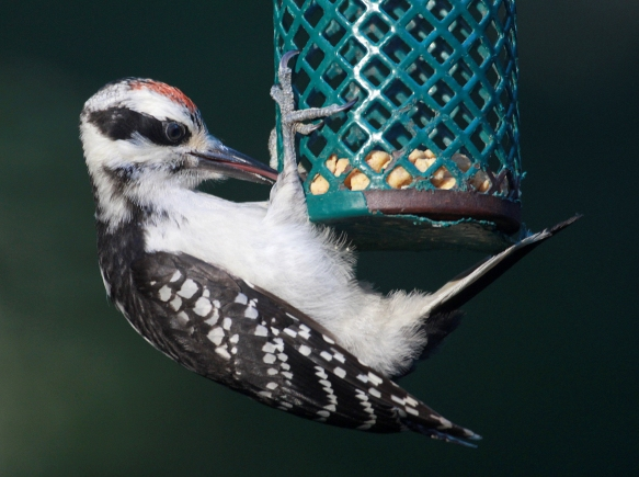 Photo by Chris Bosak  A downy woodpecker eats suet nuggets from a tube feeder in New England, summer 2018.